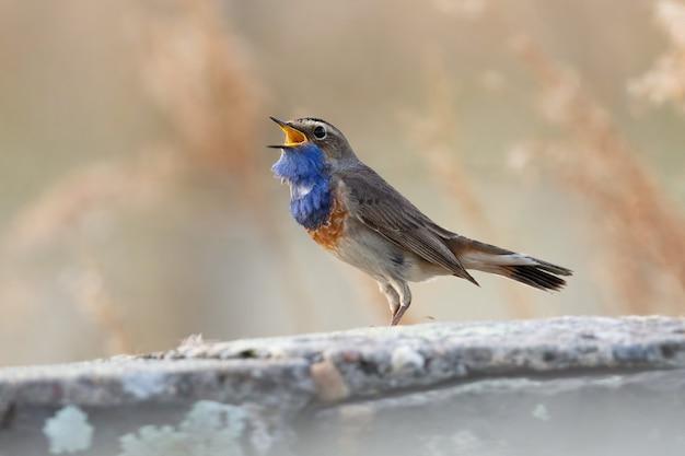 Piccolo uccello grigio e blu scuro che canta e che si siede su un ramo di albero Foto Gratuite