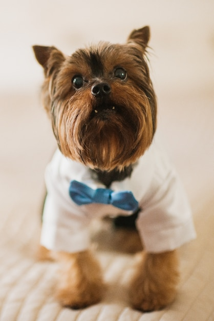 Little dog dressed in white skirt and blue bow tie Free Photo