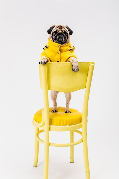Маленькая собака в желтом наряде стоит на стуле Premium Фотографии
