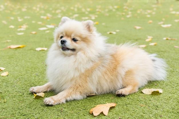 Little dog lying on the grass Premium Photo