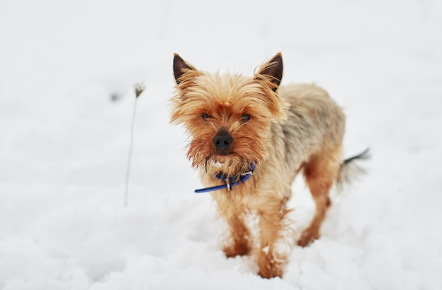 The little dog in the snow looks into the camera Free Photo