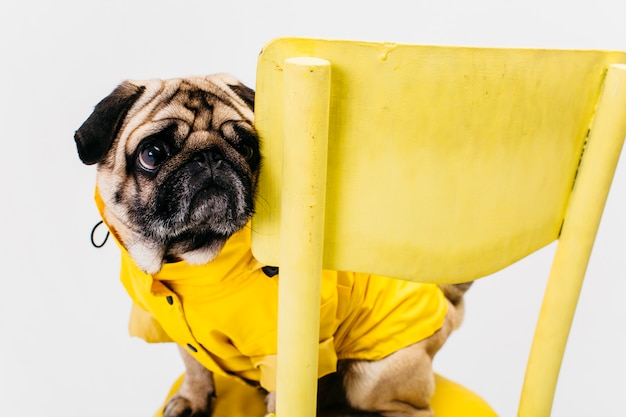 Little dog in yellow suit sitting on chair Free Photo