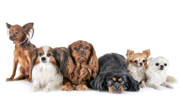 Little dogs in studio Premium Photo