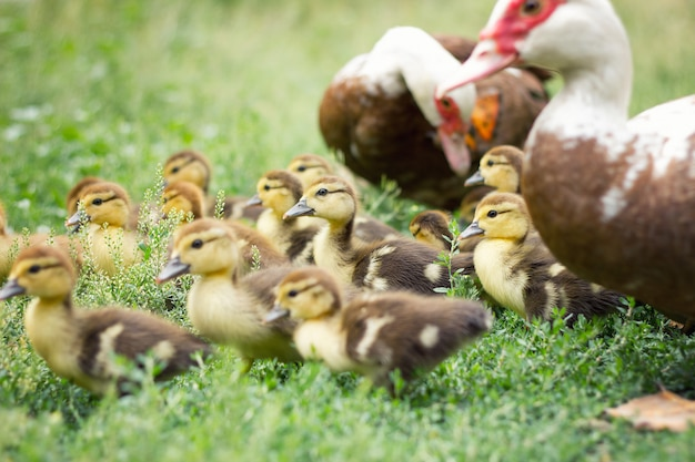 Little ducklings in green grass, agriculture Premium Photo