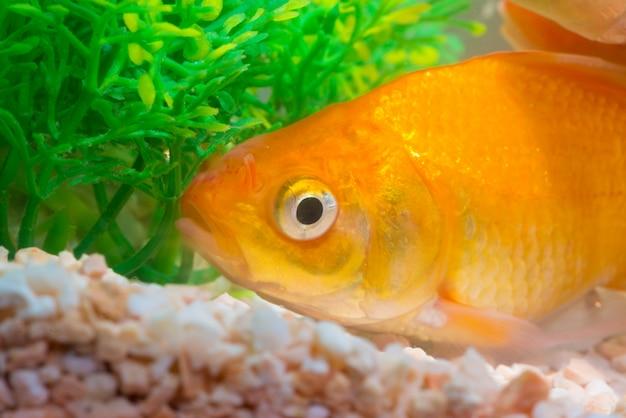 Little fish in fish tank or aquarium, gold fish, fancy carp Premium Photo
