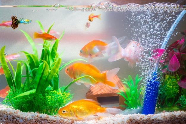 Little fish in fish tank or aquarium, gold fish, guppy and red fish, fancy carp Premium Photo