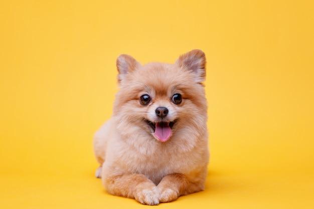 밝은 노란색 배경에 누워 포메라니안 스피츠의 작은 솜 털 강아지 프리미엄 사진