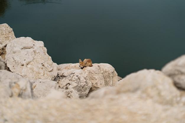 自然の中の水の近くの白い石の上で日光浴をしているキツネ。 無料写真