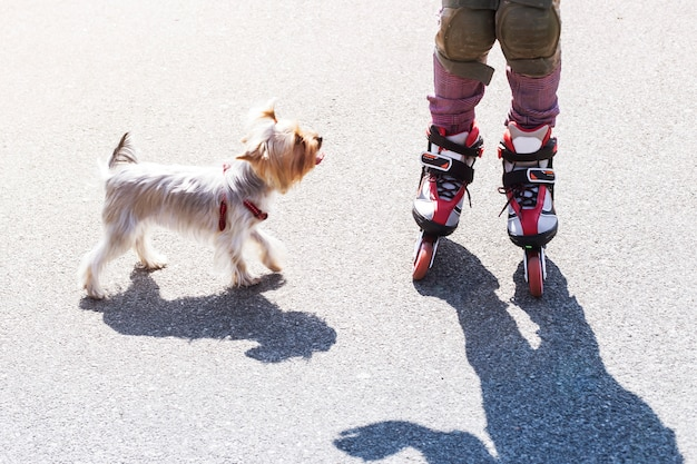 A little girl is riding on red rollers next to a small dog of the breed yorkshire terrier Premium Photo