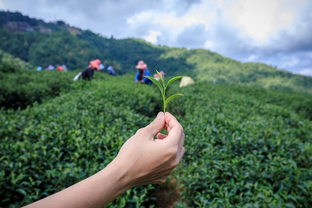 Little green tea on holding hand and agricultural farmland with farmer group background Premium Photo