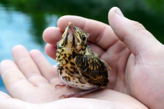 Маленький птенец глотает реку (свифт), мужчина держит в руках. Premium Фотографии