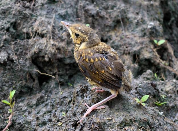 Маленький птенец глотает реку (свифт) Premium Фотографии