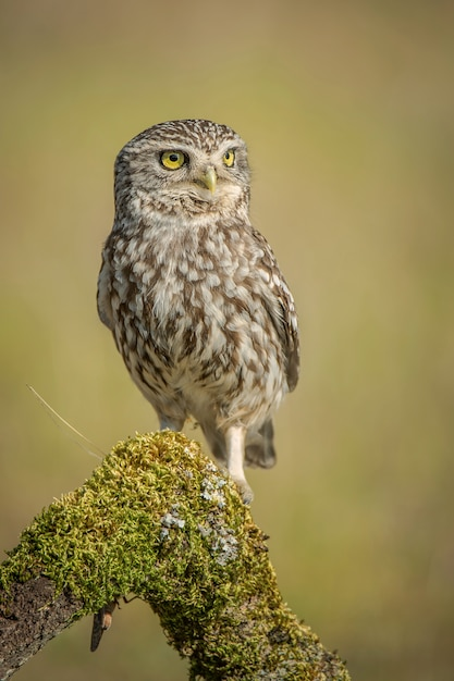 Little owl athene noctua Premium Photo