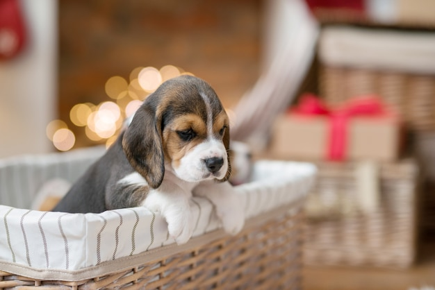 Little puppy in the basket Free Photo
