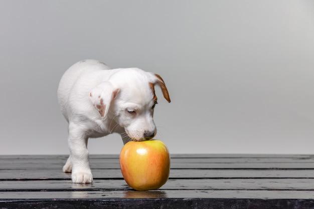 子犬は大きなリンゴを舐めます。リンゴを味わう美しい犬。 Premium写真