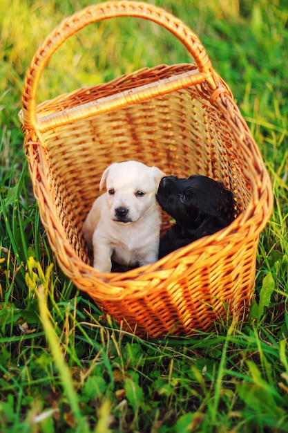Little puppys breed toy fox terrier in the summer the park on the green grass, sitting in a wicker basket Premium Photo