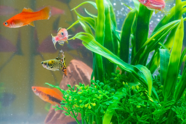 Little red fish with green plant in fish tank or aquarium Premium Photo