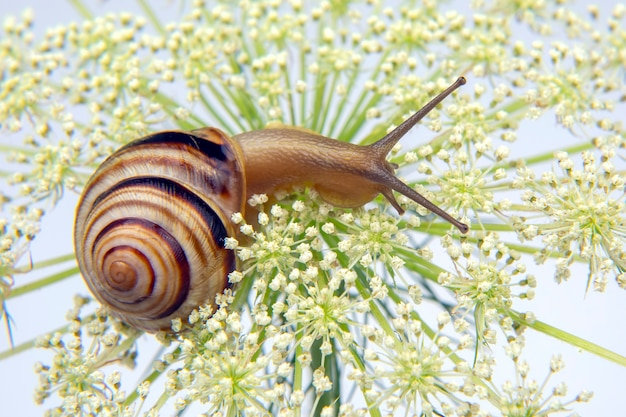 Little snail crawling on a flower. mollusc and invertebrate. delicacy meat and gourmet food. Premium Photo