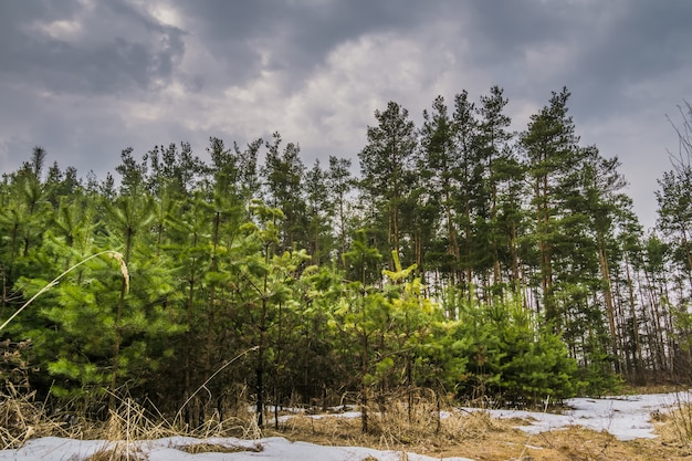 Little spruce trees Premium Photo