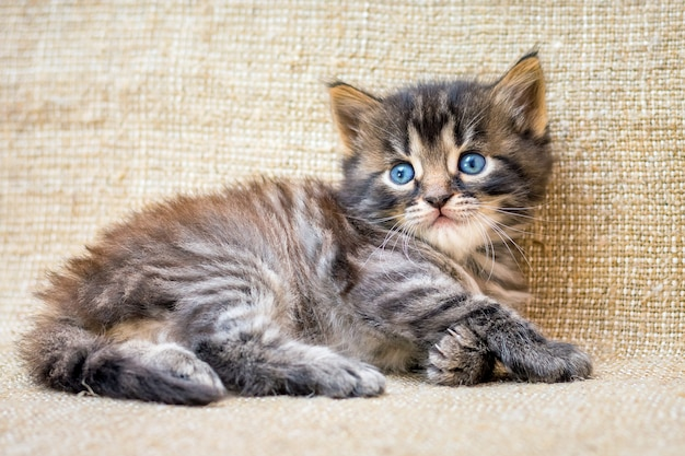 A little striped kitten lies resting after the game_ Premium Photo