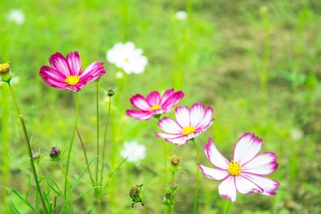 緑のボケbaclgroundと小さな白いデイジーの花 Premium写真