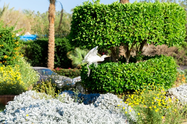Little white egret in flying in sunny egypt Premium Photo