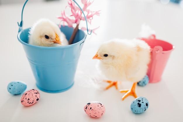Маленькие желтые птенцы сидят в ведре, еще гуляют среди цветов и пасхальных яиц Premium Фотографии