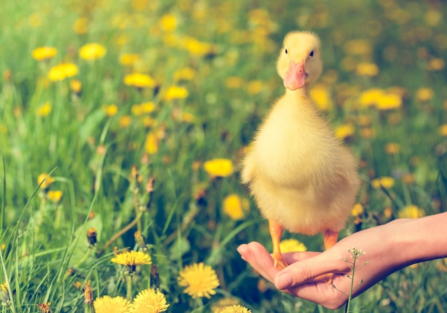 Little yellow duckling on hand Premium Photo