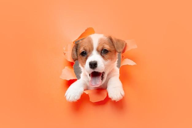 Piccolo cane giovane in posa allegro. Foto Gratuite