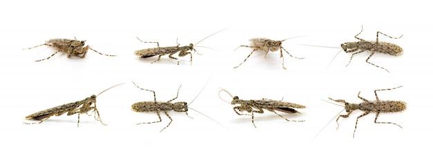 カモフラージュのカマキリ(liturgusa sp。)のグループ。昆虫。動物。 Premium写真