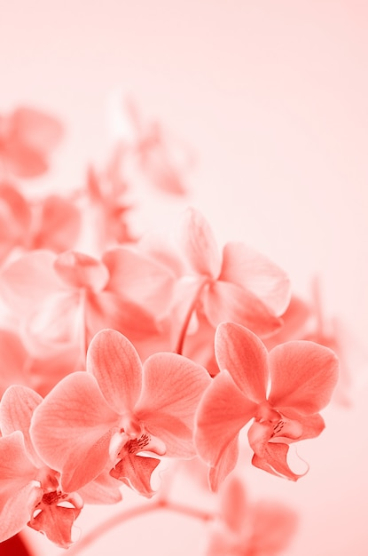 Living coral. phalaenopsis orchid flower grows on tenerife, canary islands. orchids. Premium Photo