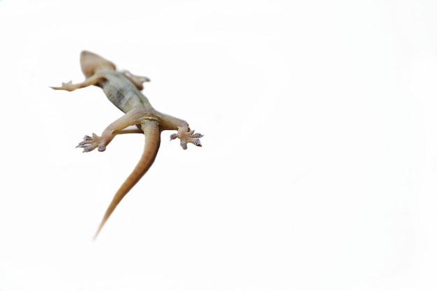 Lizard on an isolated white background. Premium Photo