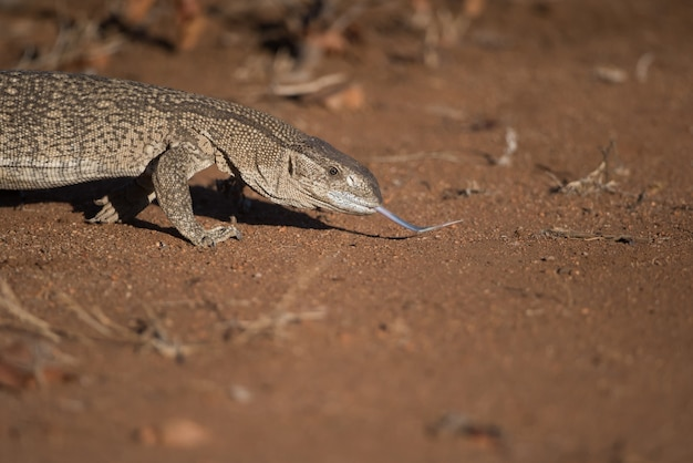 砂漠の地面をなめるトカゲ 無料写真