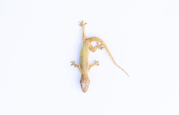 Lizard on white background with copy space Premium Photo