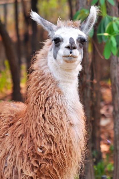 Llama Premium Photo