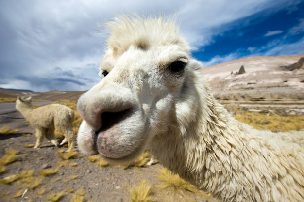 Llamas in the wild Premium Photo