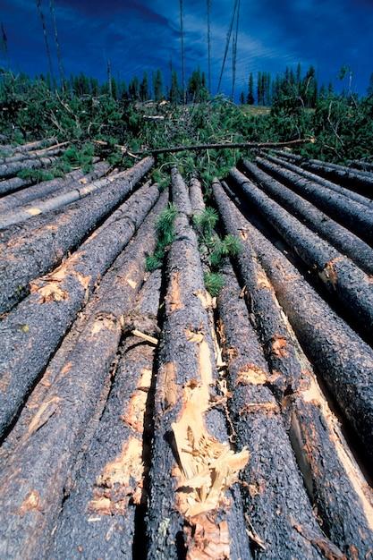 Lodgepole pine logs, montana Premium Photo
