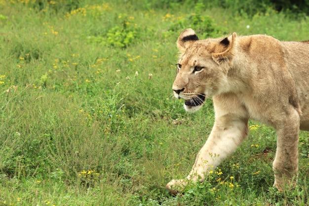 Leone femminile solo che cammina nel parco nazionale degli elefanti di addo Foto Gratuite