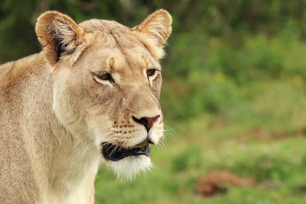Leone femminile solo che cammina nel parco addonational Foto Gratuite