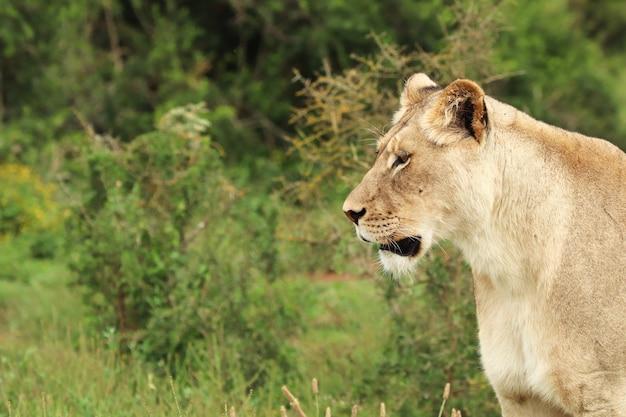 Одинокая львица гуляет в национальном парке слонов аддо Бесплатные Фотографии