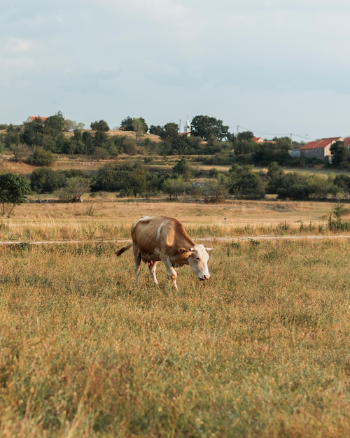 Lonely light brown cow walking on the field in the countryside Free Photo