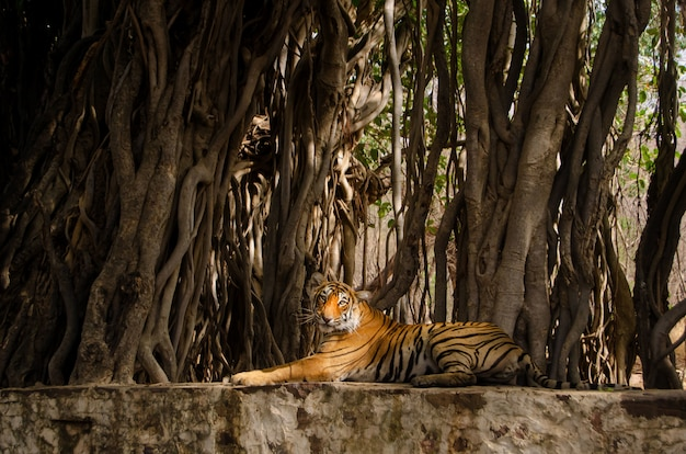 Lonely tiger sitting near tree roots and relaxing in the jungle Free Photo