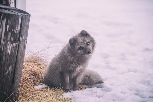 雪に覆われた地面に座っている長いコートの灰色の犬 無料写真