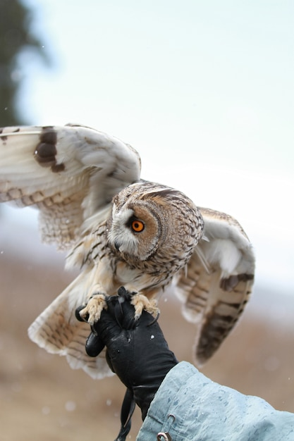 Long-eared owl rendered in field to fly and hunt Premium Photo