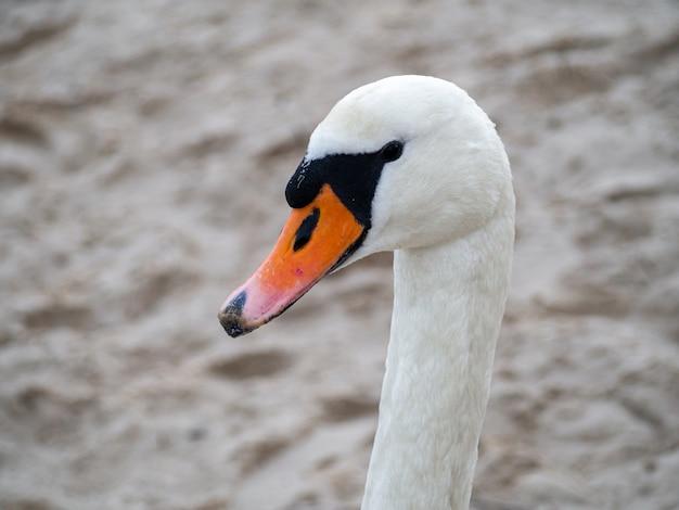 Cigno bianco dal collo lungo con un becco arancione Foto Gratuite