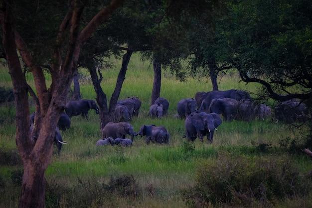 木の近くの芝生のフィールドを歩く象の遠距離ショット 無料写真
