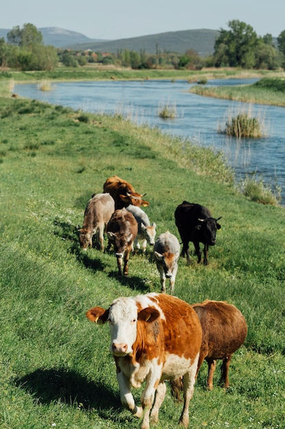 Long shot cows eating grass by the lake Free Photo