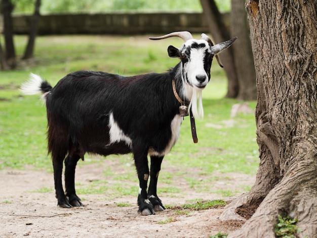 Long shot goat staying outside Premium Photo