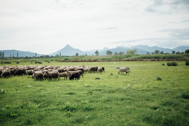 Long shot herd of sheep eating grass on pasture Free Photo