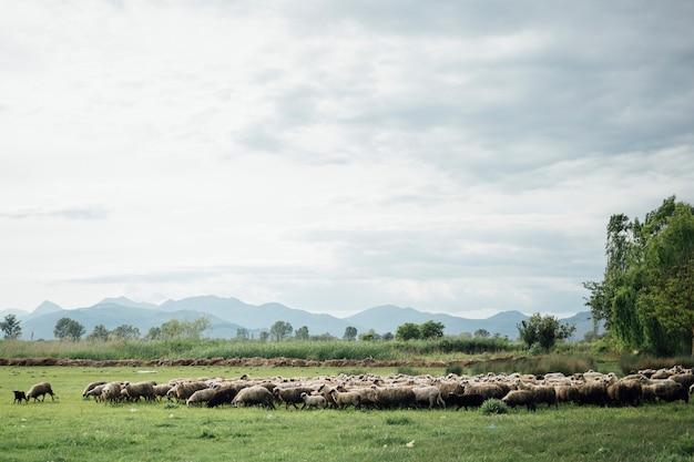 Long shot herd of sheep eating grass on pasture Free Photo